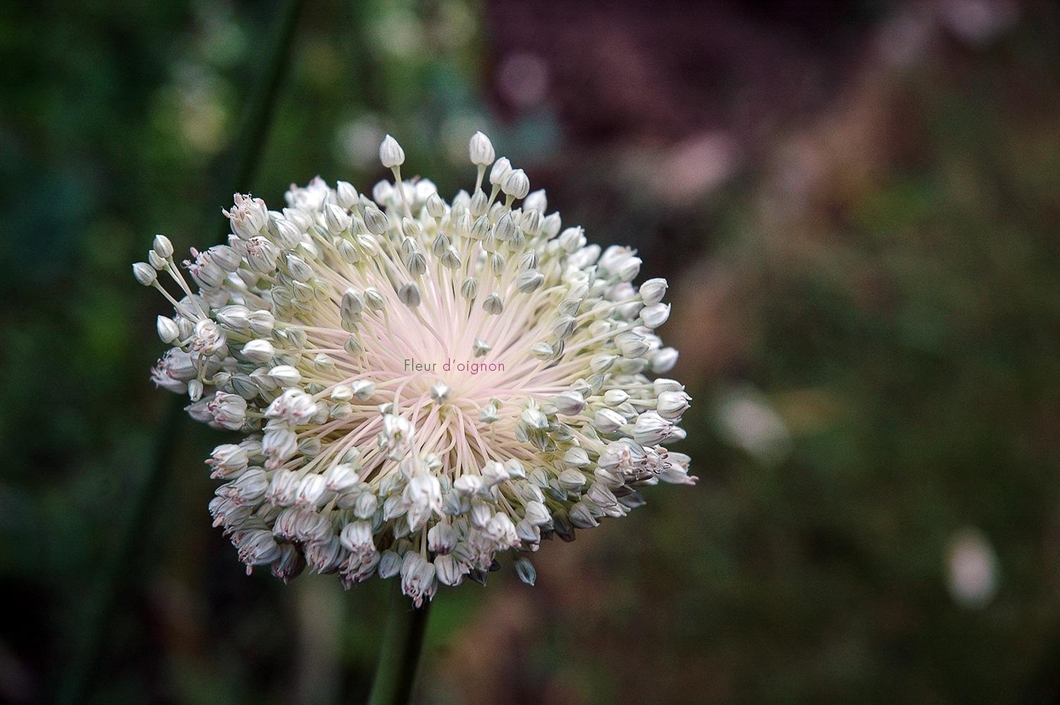 Fleur d'oignon